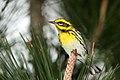 Townsend's warbler (Dendroica townsendi).jpg