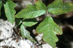 Toxicodendron pubescens.jpg