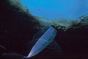 Trachipterus trachypterus