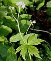 Trautvetteria caroliniensis var. japonica (bud s2).JPG