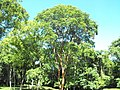 Tree in the surroundings of Bonampak - Chiapas - Mexico - panoramio.jpg