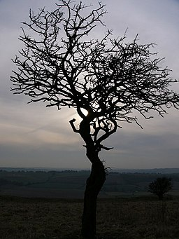 Tree on Old Winchester Hill - geograph.org.uk - 416352