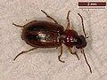 Trichocellus placidus (40754803021).jpg