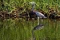 Tricolored Heron Egretta Tricolor Ruficollis (64237073).jpeg