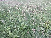 Trifolium fragiferum (subsp. fragiferum) sl9.jpg