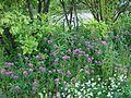 Trifolium medium - Metsäapila DSC03597 C.JPG