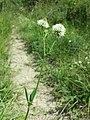 Trifolium montanum (subsp. montanum) sl17.jpg