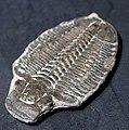 Trilobita fossil.jpg