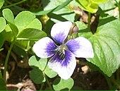 Flowers of Viola sororia
