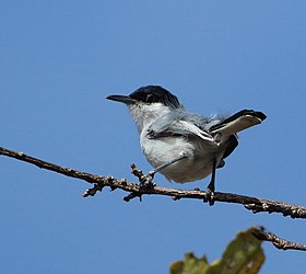 Tropical Gnatcatcher Annai march 2015 (16654698237).jpg