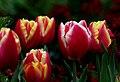 Tulip time.FZ200 (15217805160).jpg