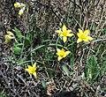 Tulipa uniflora 38030459.jpg