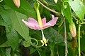 Tumbo - Curuba ecuatoriana - Curuba india (Passiflora tarminiana) - Flickr - Alejandro Bayer.jpg