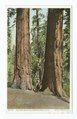 Twin Sequoias, Merced Grove, California (NYPL b12647398-69776).tiff