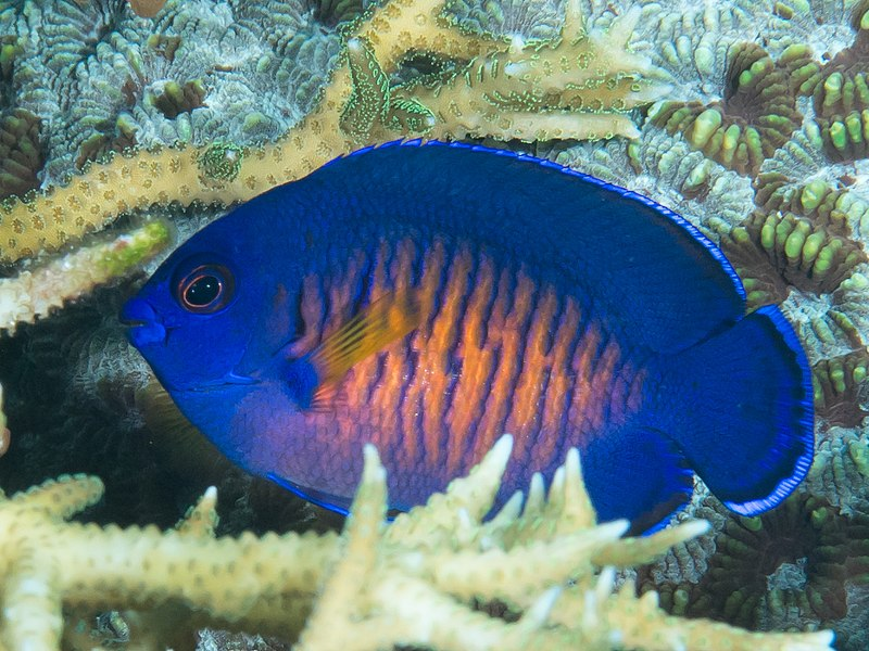 File:Two-spined angelfish (Centropyge bispinosa) (46982094864).jpg