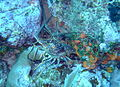 Two Spiny Lobsters on the Fathom.JPG