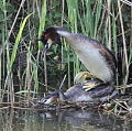 Two sparing grebes..jpg