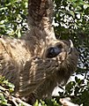 Two toed Sloth 3 (4871854545).jpg