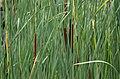 Typha angustifolia (5902724554).jpg