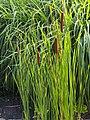 Typha angustifolia Pałka wąskolistna 2015-08-30 03.jpg