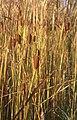 Typha laxmannii5.jpg