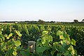 US-NY - Cutchogue - Vineyard (4887739436).jpg