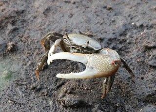 Chinese Mitten Crab Wikimili The Free Encyclopedia