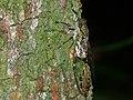 Unidentified Cicada (Cicadidae) (8440634679).jpg