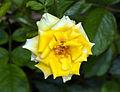 Unidentified rose hybrid, Yogyakarta, 2014-11-18.jpg