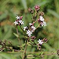 Unknown plant-IMG 6892.JPG