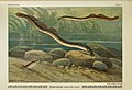 Unsere Süßwasserfische (Tafel 1) (6103140442).jpg