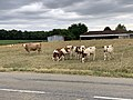 Vaches Route Dommartin St Genis Menthon 1.jpg