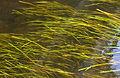 Vallisnérie Vallisneria spiralis Brantôme-Dronne 2014 4.JPG