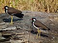 Vanellus indicus -central India -two-8.jpg