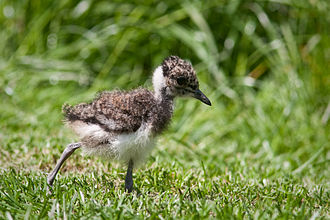 Northern lapwing - A chick in the Netherlands
