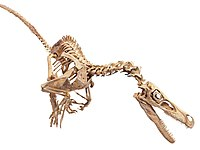 Velociraptor skeleton white background.jpg