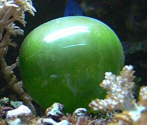 Blasenalge (Valonia ventricosa)