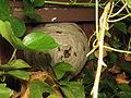 Vespula vulgaris (14599730913).jpg