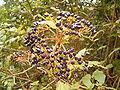 Viburnum rigidum (Breña Alta) 05 ies.jpg