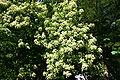 Viburnum sieboldii in flower 001.JPG