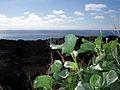 Vinagrera - Isla de La Palma - Islas Canarias -Macaronesia bajo peso.jpg
