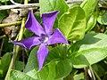 Vinca major 'Greater Periwinkle' (Apocynaceae) flower.jpg