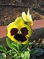 Viola tricolor var. hortensis, garden pansy from Nilgiris (2).jpg