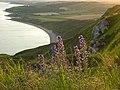 Viper's Bugloss - geograph.org.uk - 848915.jpg