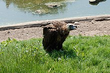 Vulture Chester Zoo.jpg