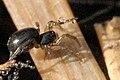 Walckenaeria.stylifrons2.-.lindsey.jpg