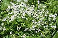 Waldmeister (Galium odoratum) (8994790519).jpg