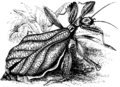 Walking-Leaf Insect Mivart.png