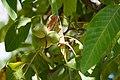 Walnut tree in Rind village 01.jpg