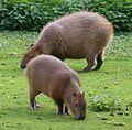 Wasserschwein Hydrochoerus hydrochaeris Tierpark Hellabrunn-3.jpg